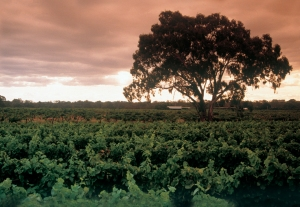 Tahbilk Vineyard View